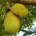 wat is jackfruit